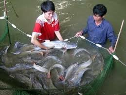 Kinh nghiệm và kỹ thuật nuôi cá lăng