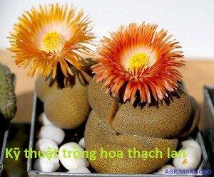 Kỹ thuật trồng hoa thạch lan