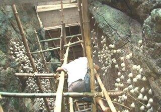 Nghề khai thác tổ yến ở Cù lao Tràm
