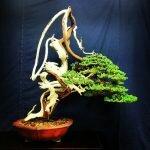 Kỹ thuật ghép cây bonsai non với gốc cây khô hoặc gỗ lũa