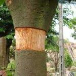 Phương pháp chiết cây mai lớn