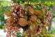 Kinh nghiệm trồng & chăm cây khế, kích thích khế cho trái quanh năm