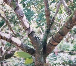 Kích thích cây ăn quả ra hoa theo kinh nghiệm cổ truyền