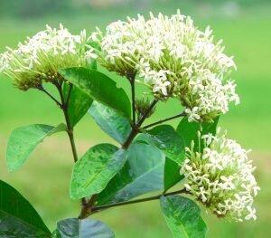 Tên khoa học của 50 loài cây – Người chơi Bonsai cần biết