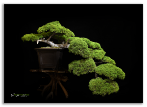 Chiêm ngưỡng những tác phẩm bonsai tại triển lãm hè 2016 ở Mỹ