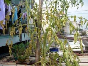 Kinh nghiệm xử trí khi cây trồng bị vàng lá, khô héo