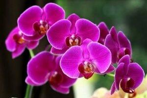 Nhận diện các giống Lan Việt Nam theo hệ thống thực vật học