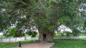 Ngắm gốc cây sanh trăm tuổi tuyệt đẹp ở Quảng Bình