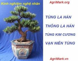 Những kinh nghiệm về cây Tùng La Hán