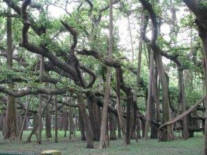 Cây đa cổ thụ 250 năm tuổi, lớn nhất thế giới