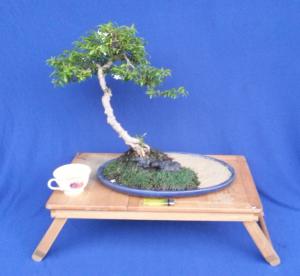 Kinh nghiệm lặt lá cho Bonsai