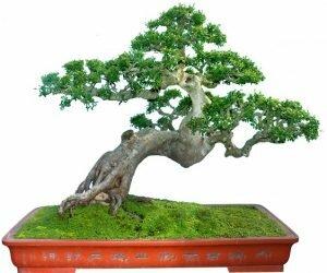 Kiến thức, kinh nghiệm về cây Du