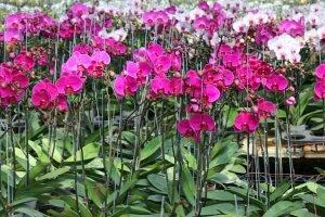 Kinh nghiệm trồng lan hồ điệp trong chậu