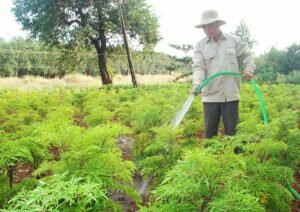 Kinh nghiệm trồng, chăm sóc, thu hoạch Đinh Lăng