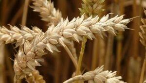 Lịch sử hạt gạo cổ có thể được viết lại nhờ khám phá ở dãy núi Alps