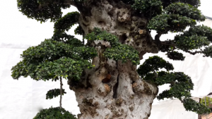 Ngắm cây duối đại thụ 1000 năm tuổi
