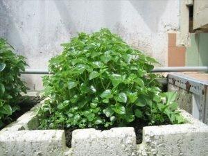 Tự trồng Rau Càng Cua, món ngon – bài thuốc diệu kỳ