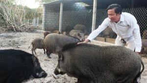 Nông dân xuống biển nuôi lợn rừng