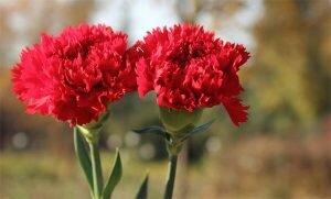 Kỹ thuật & Kinh nghiệm trồng Hoa Cẩm Chướng từ cành