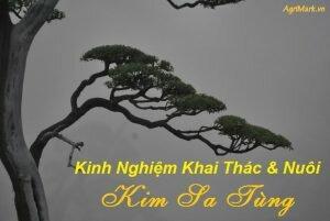 Kinh nghiệm khai thác và nuôi Kim Sa Tùng