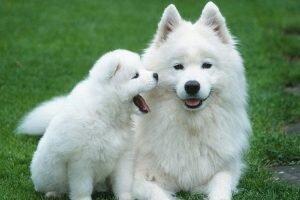 Năm Tuất nói về những cái nhất của các loài chó trên thế giới