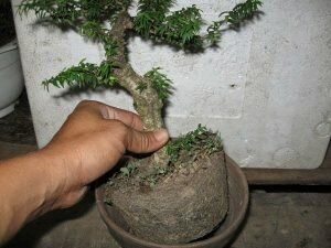 Kinh nghiệm thay chậu cây Kim Thanh Mai